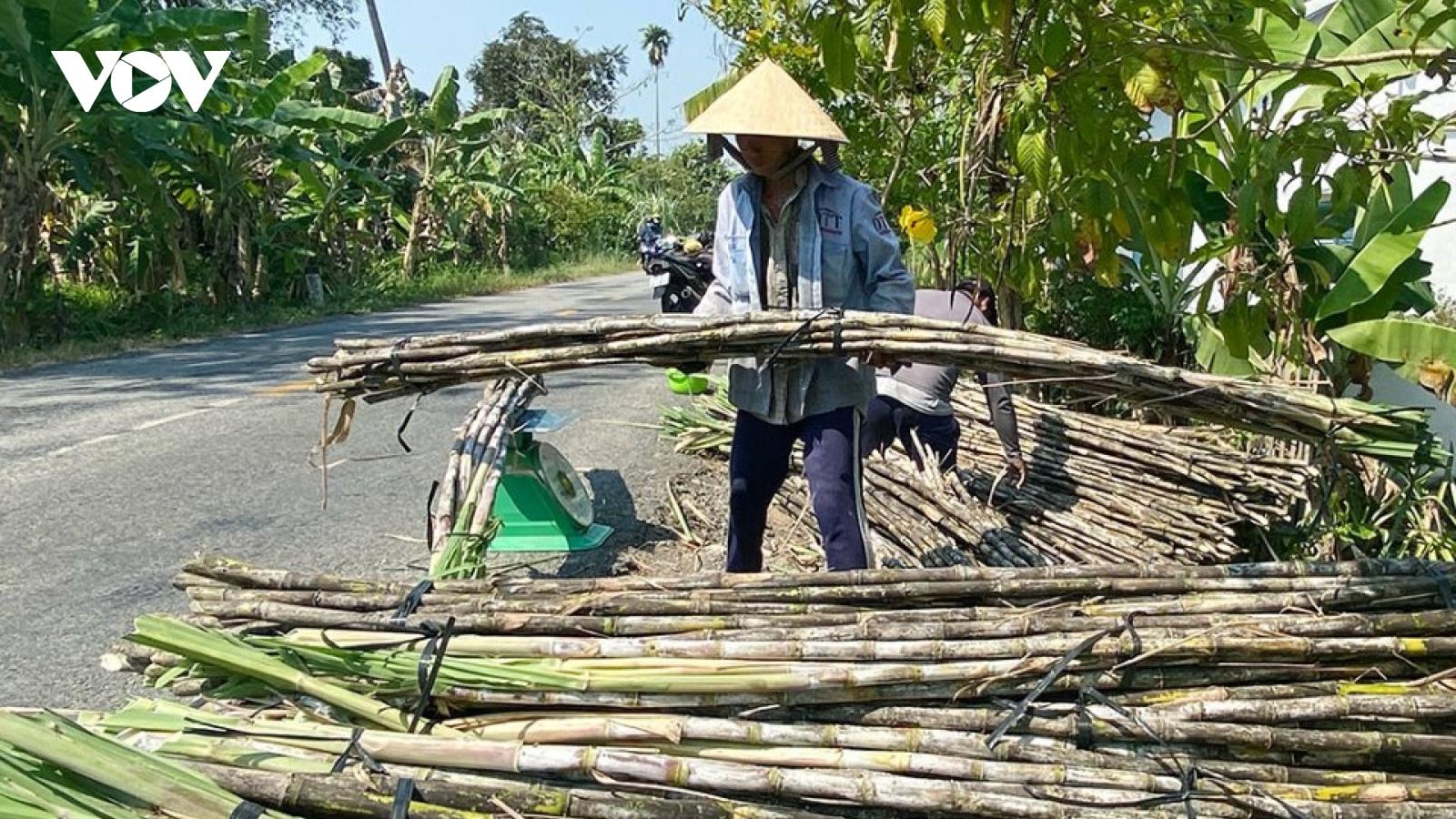 Hậu Giang quy hoạch 500ha trồng mía bán chục