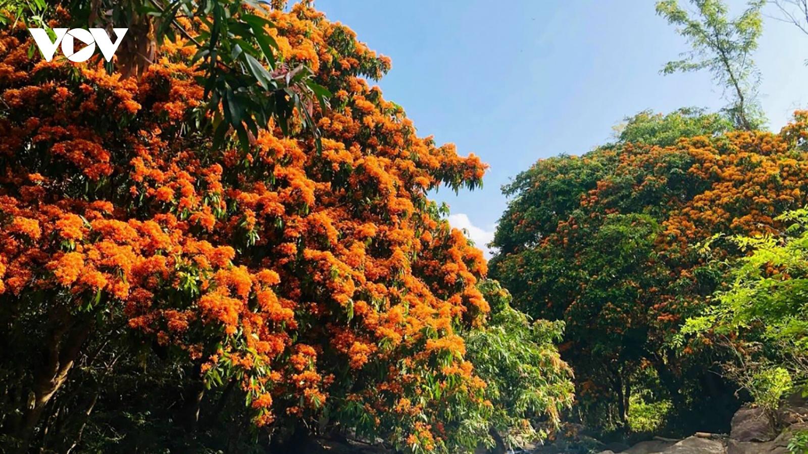 Bình Định: Hoa trang rừng nở rực rỡ hút khách tham quan