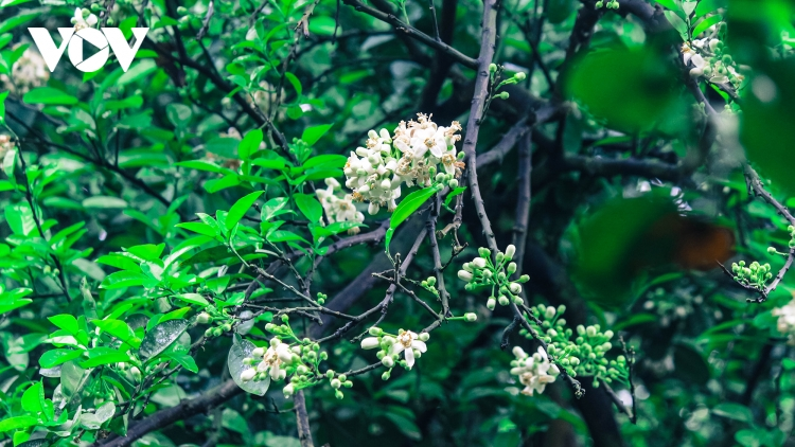Hoa bưởi bung nở trắng trời ở làng trồng bưởi nổi tiếng Hà Nội