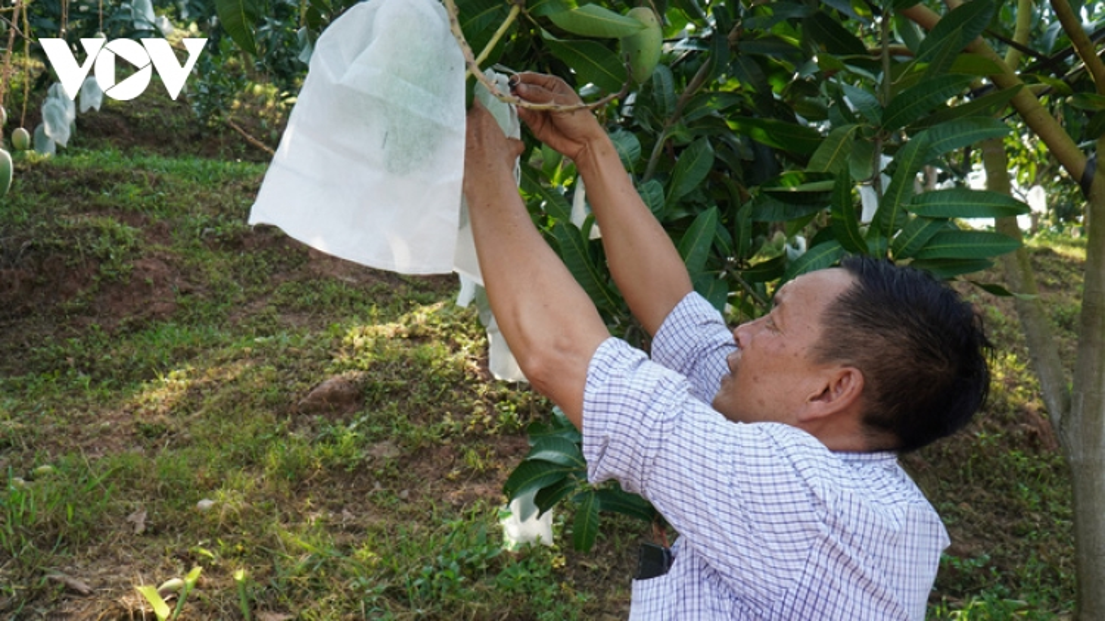 Bí quyết của nông dân Sơn La giúp bán trái cây giá cao hơn gấp 2-3 lần