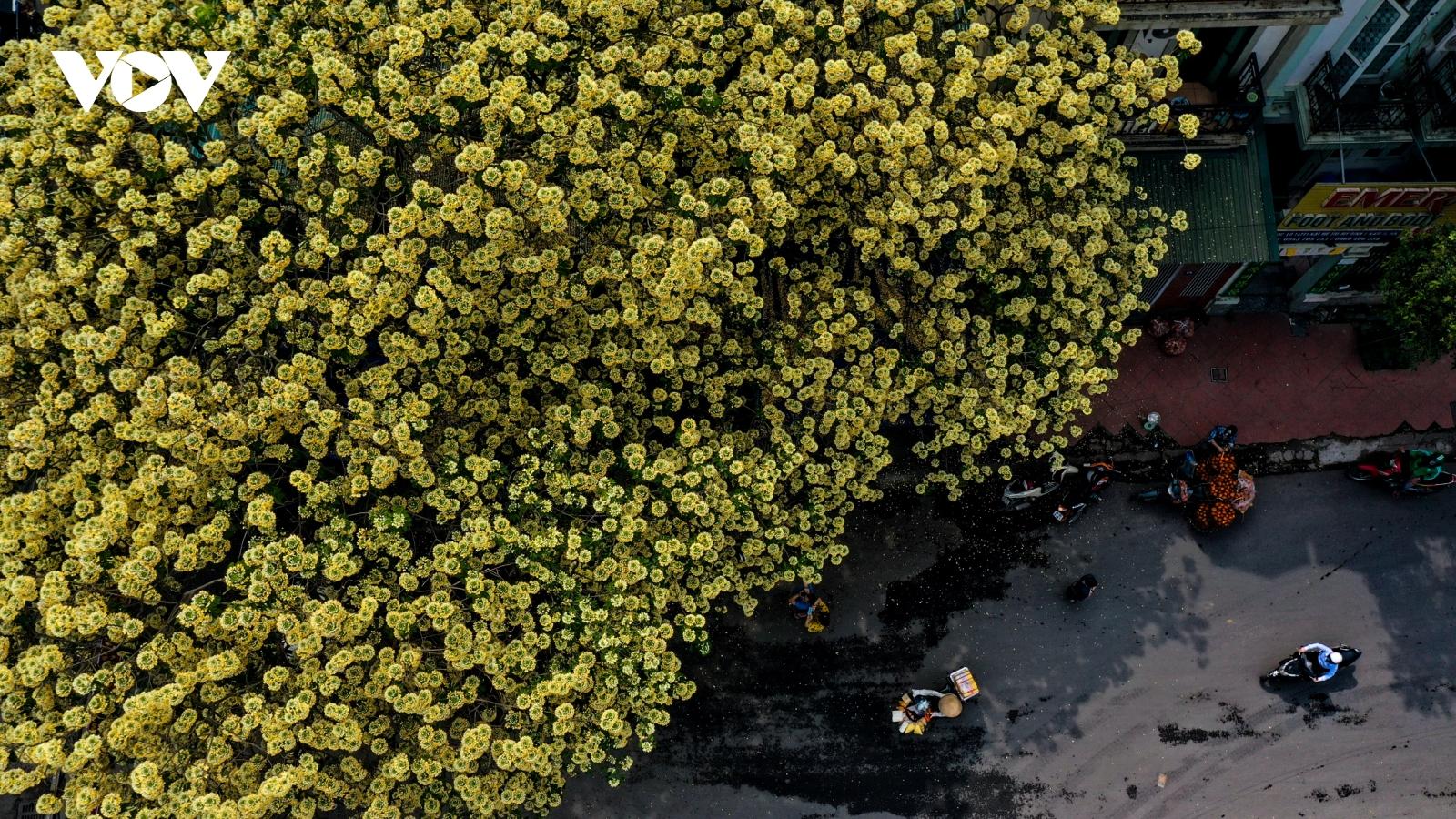 Ngỡ ngàng vẻ đẹp cây hoa bún có tuổi 300 năm giữa lòng Hà Nội