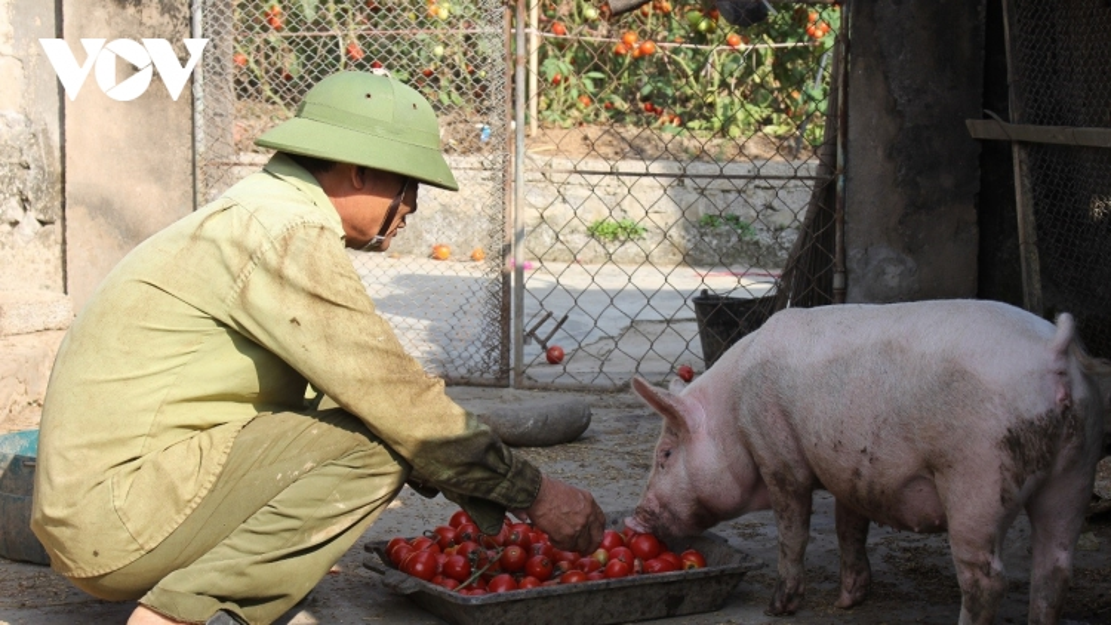Cà chua bán rẻ không ai mua, nông dân mang về cho lợn ăn