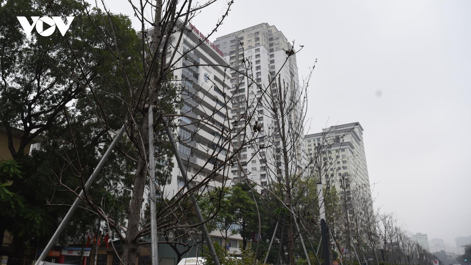 Cận cảnh hàng phong lá đỏ ở Hà Nội sắp bị thay thế
