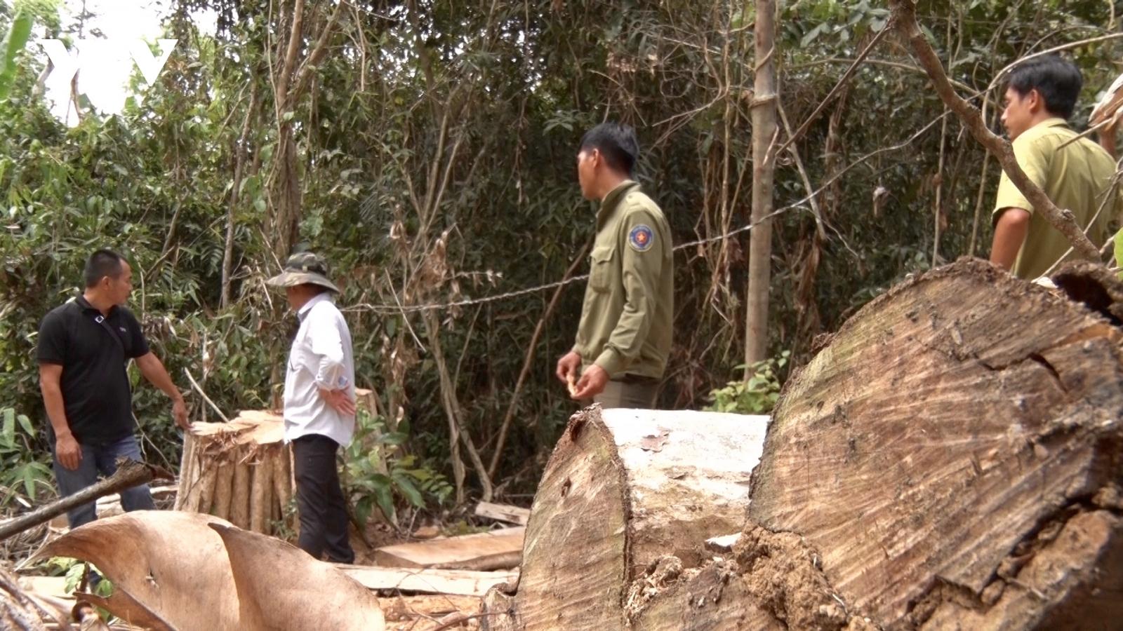 Rừng Gia Lai giáp ranh Đắk Lắk bị khai thác quy mô lớn