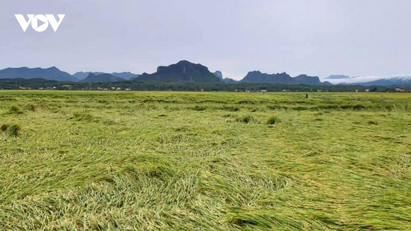 Dông lốc, mưa lớn làm hàng nghìn ha lúa, ngô bị ngã rạp ở Quảng Bình