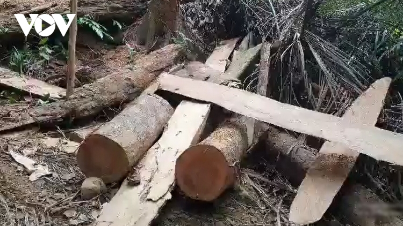 """Ai """"tiếp tay"""" cho lâm tặc đưa gỗ ra khỏi rừng phòng hộ tại Quảng Trị"""