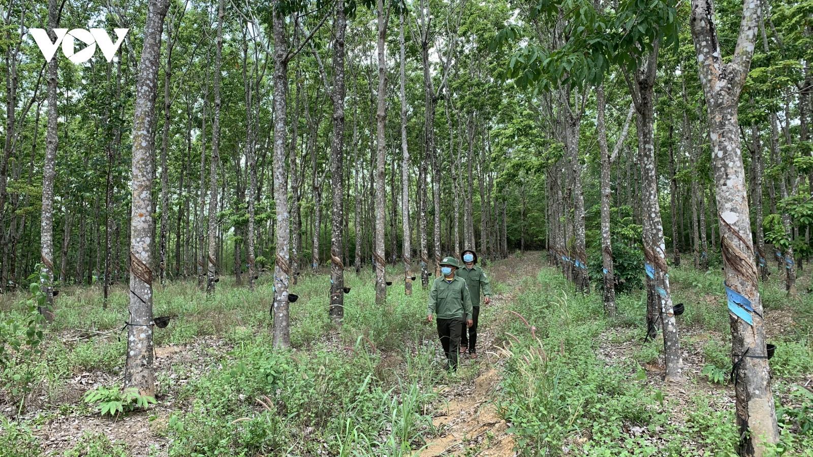 """Chuyện lạ ở Gia Lai: Hàng trăm ha cao su bị """"trồng trộm"""" trên đất rừng"""