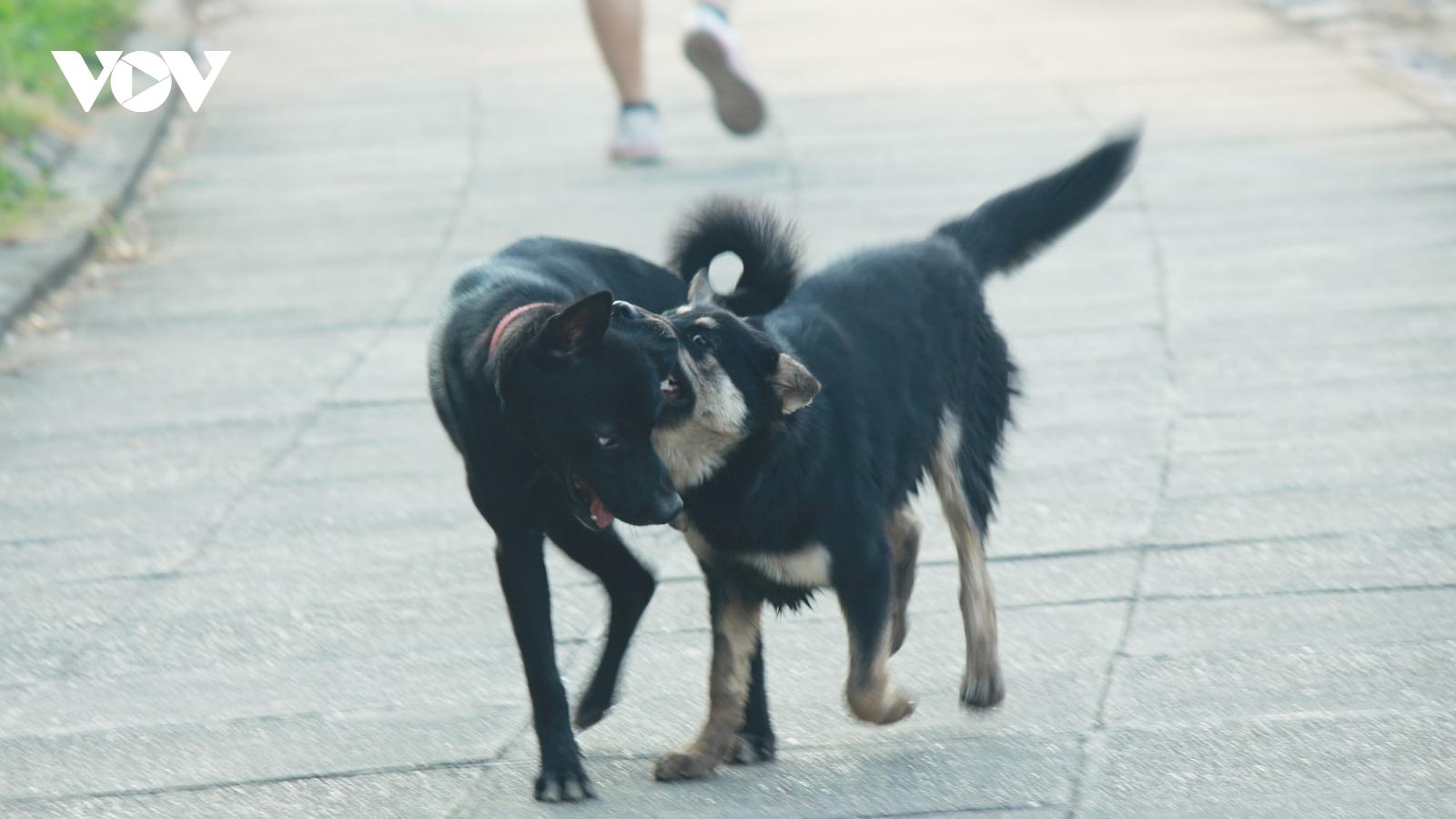Nhan nhản chó thả rông không rọ mõm trên đường phố Hà Nội