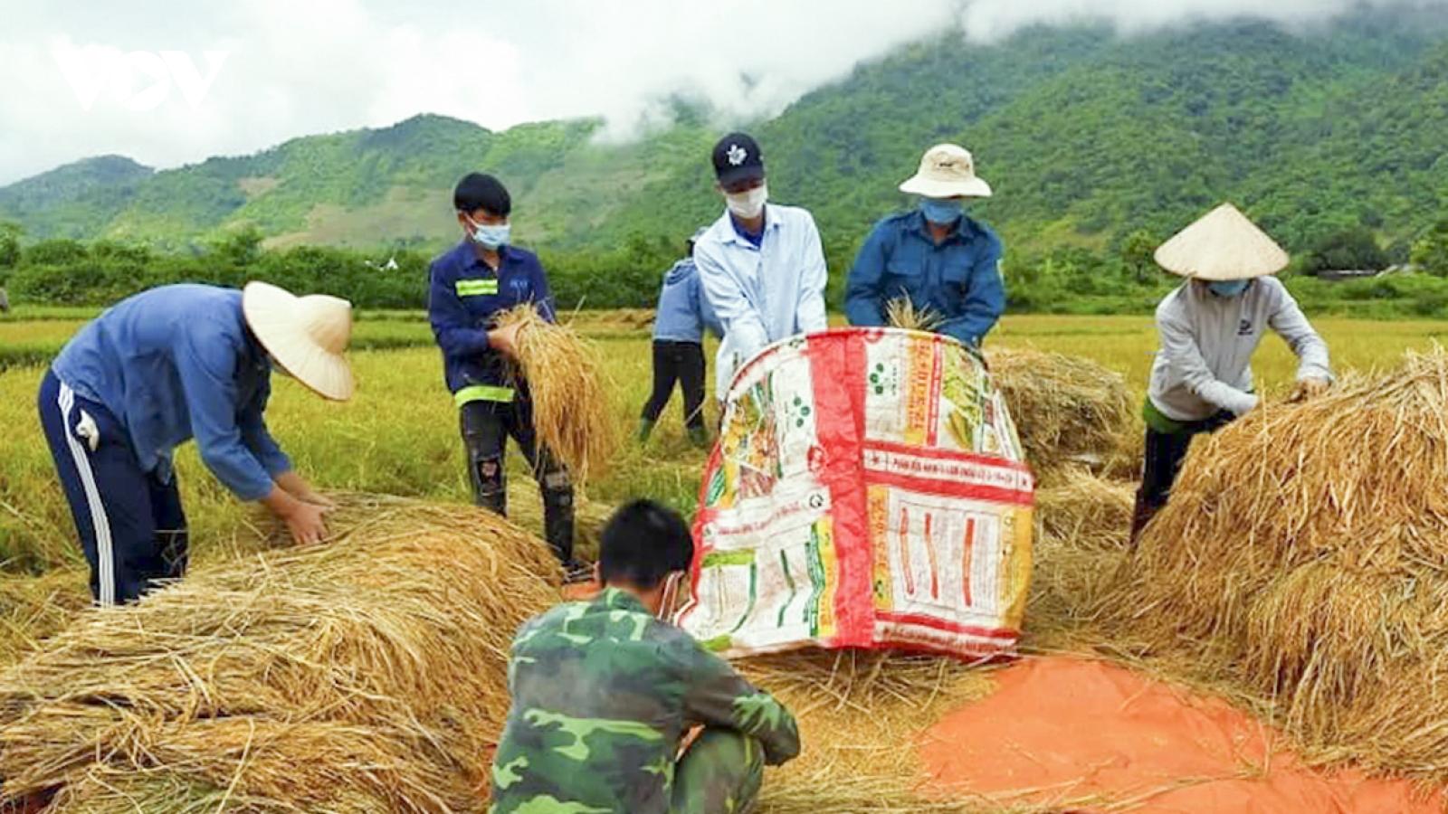 Dân bản bị cách ly tập trung, thanh niên Mường Lay giúp thu hoạch lúa