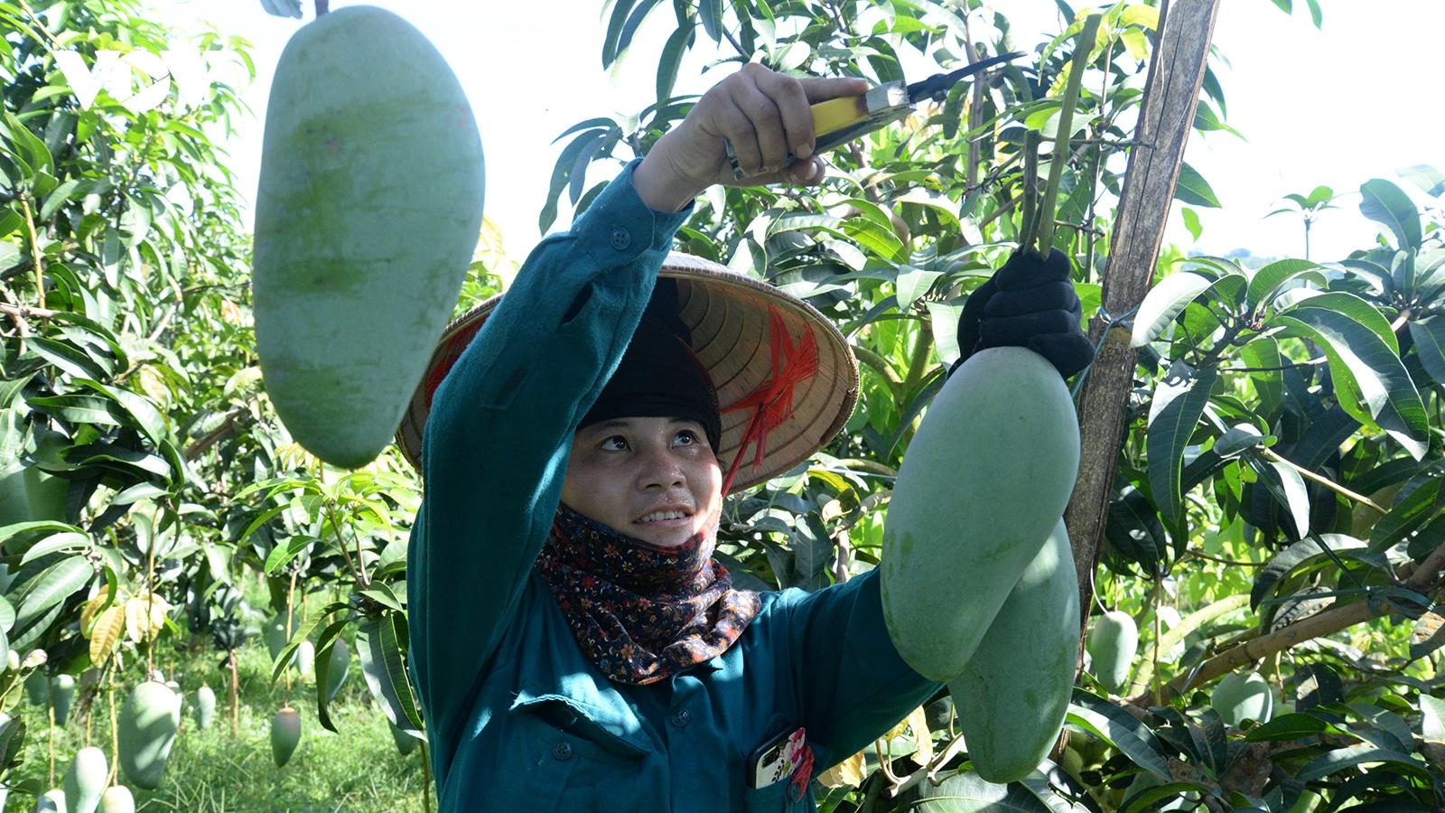 Hàng nghìn tấn nông sản Sơn La đang chờ ngày thu hoạch