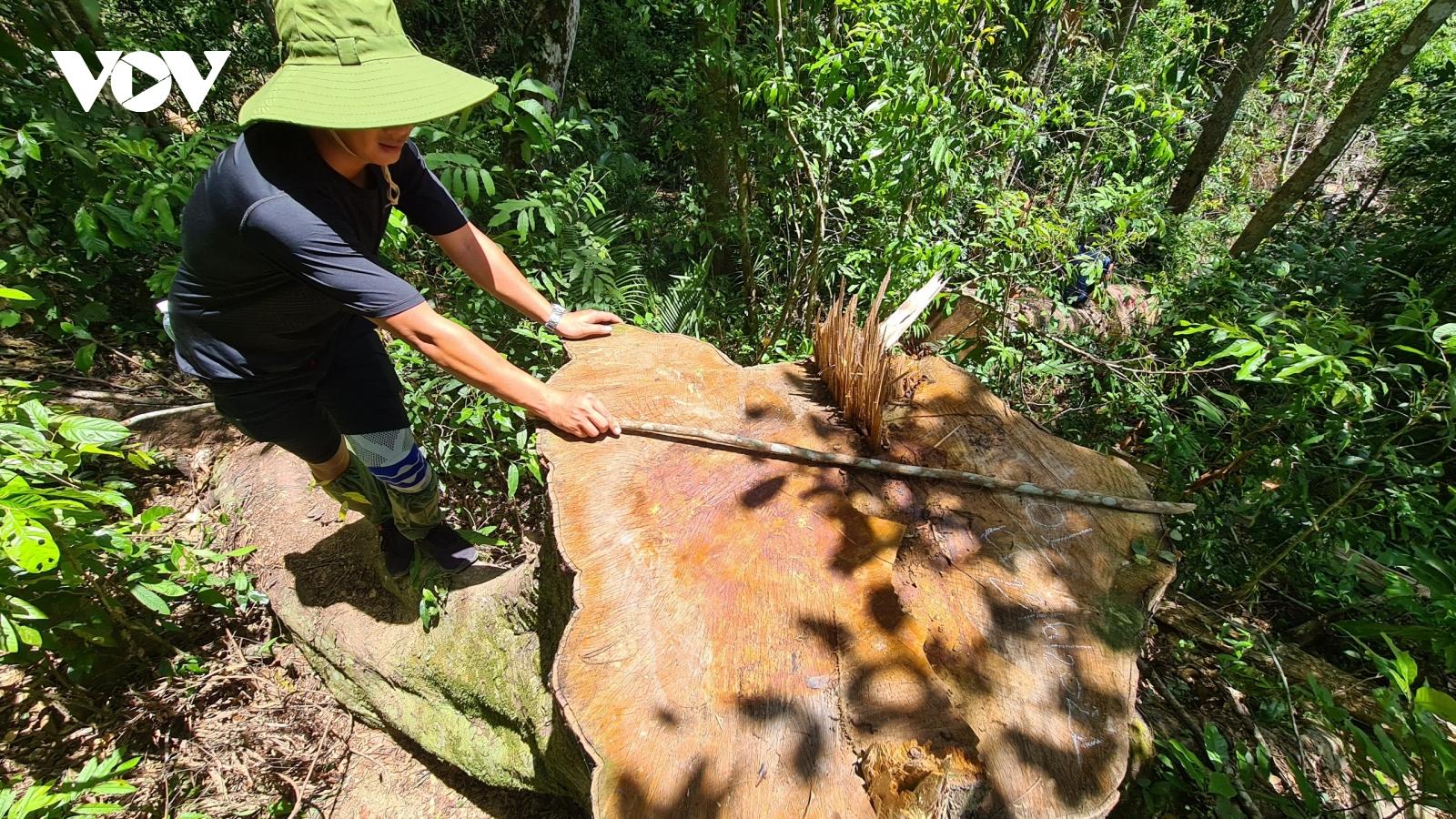 Rừng dổi cổ thụ ở huyện Kbang bị tàn phá nghiêm trọng