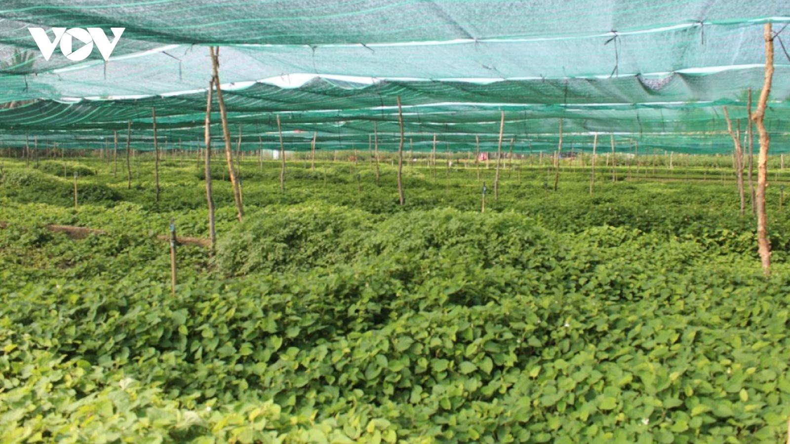 Những loại rau không cần chăm, mọc như cỏ vẫn cho thu tiền triệu