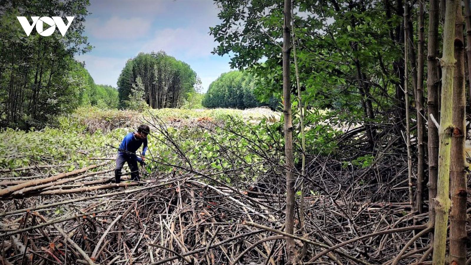 Tìm đầu ra cho cây đước - ngành hàng chủ lực của Cà Mau