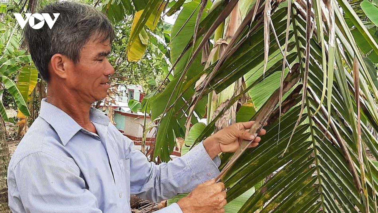 """Sâu đầu đen """"lộng hành"""" gây hại hàng trăm ha vườn dừa Bến Tre"""