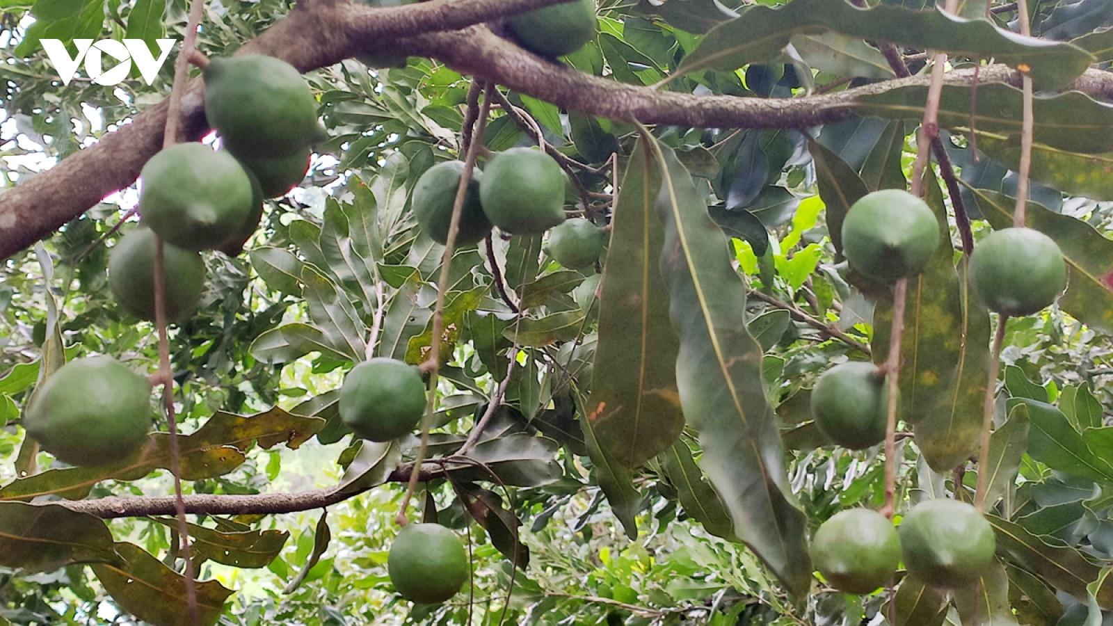 Macca - sản phẩm nông nghiệp đặc hữu trên vùng núi đá Lai Châu