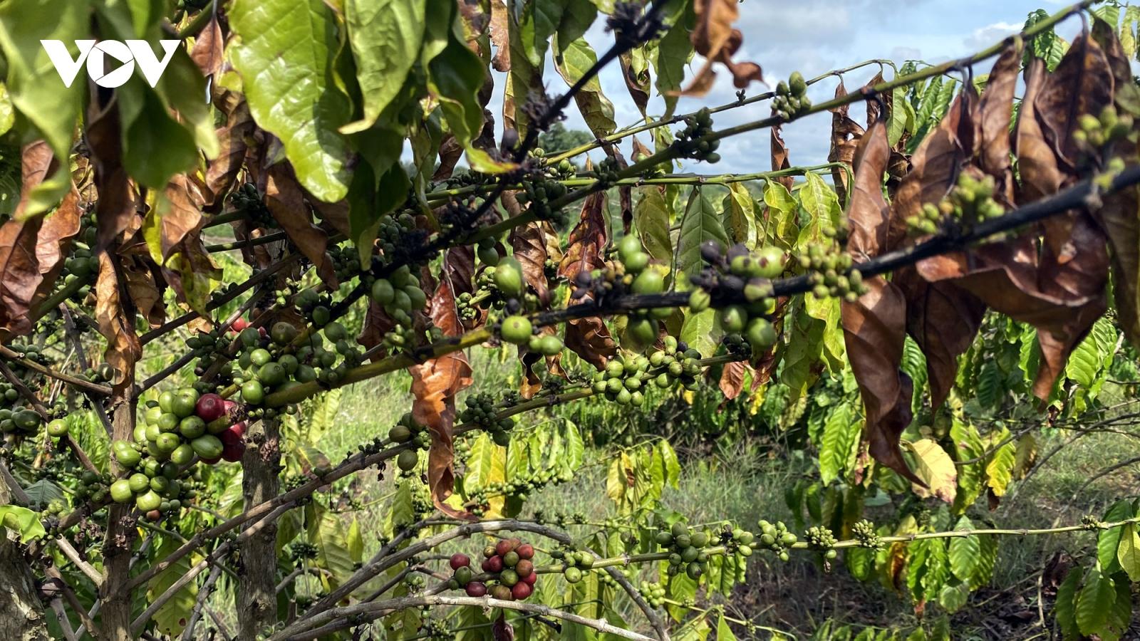 Hạn hán giữa mùa mưa Đắk Lắk khiến nông dân thiệt hại nặng