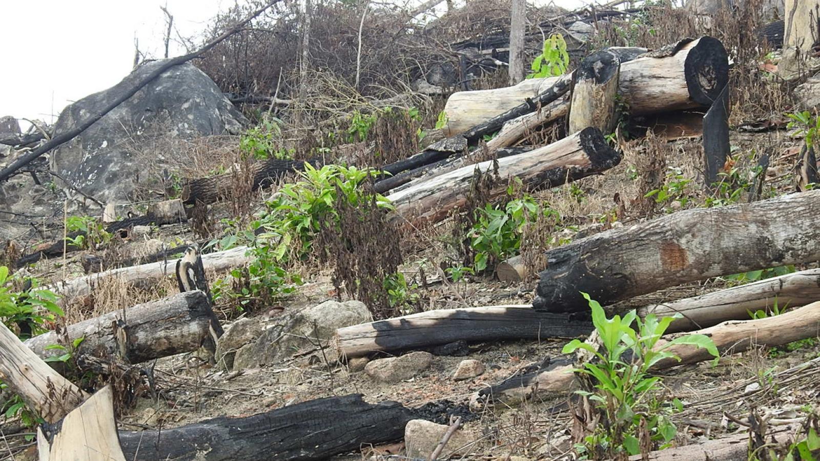 Chùm ảnh: 17 ha rừng bị chối bỏ và triệt hạ ở Kon Tum