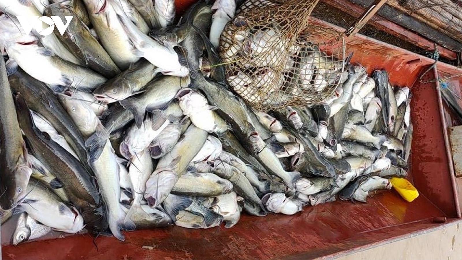 Cá lồng ở Phù Yên, Sơn La chết hàng loạt vì nước sông Đà đục ngầu bùn đất