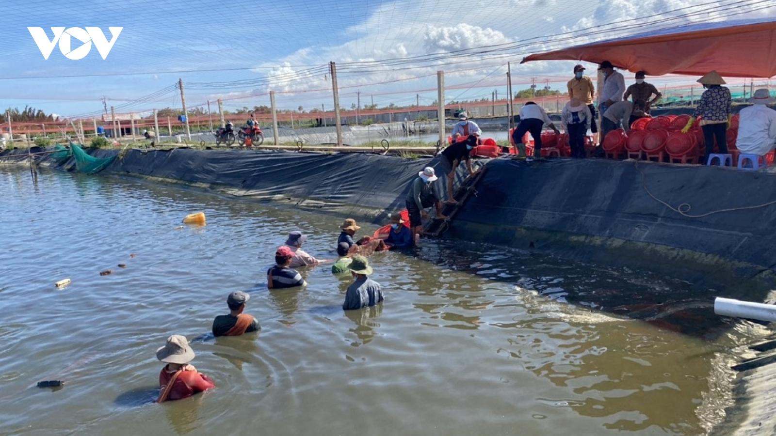 """Lo ngại dịch Covid-19 bùng phát, ngư dân Tiền Giang thu hoạch tôm ồ ạt, """"cung vượt cầu"""""""