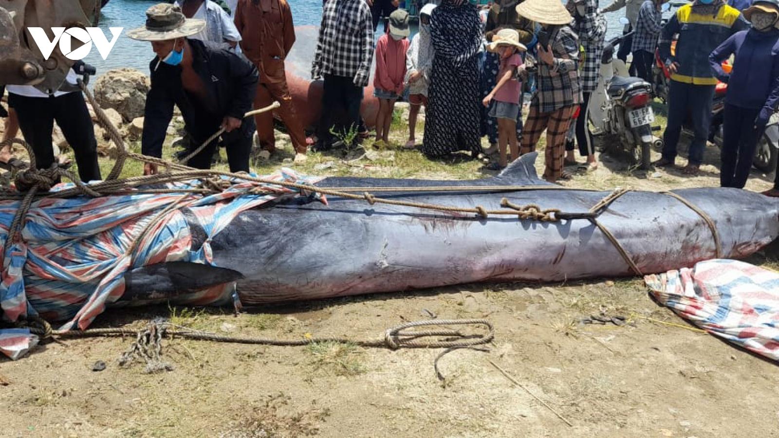 Xác cá voi dài khoảng 7m dạt vào bờ biển ở Hà Tĩnh