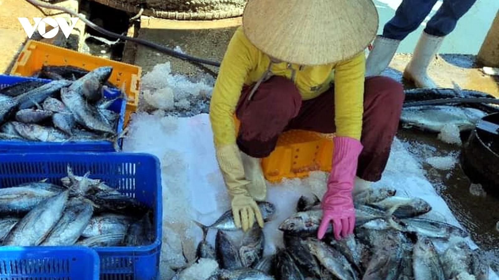 Ngư dân Bình Định được mùa cá ngừ sọc dưa
