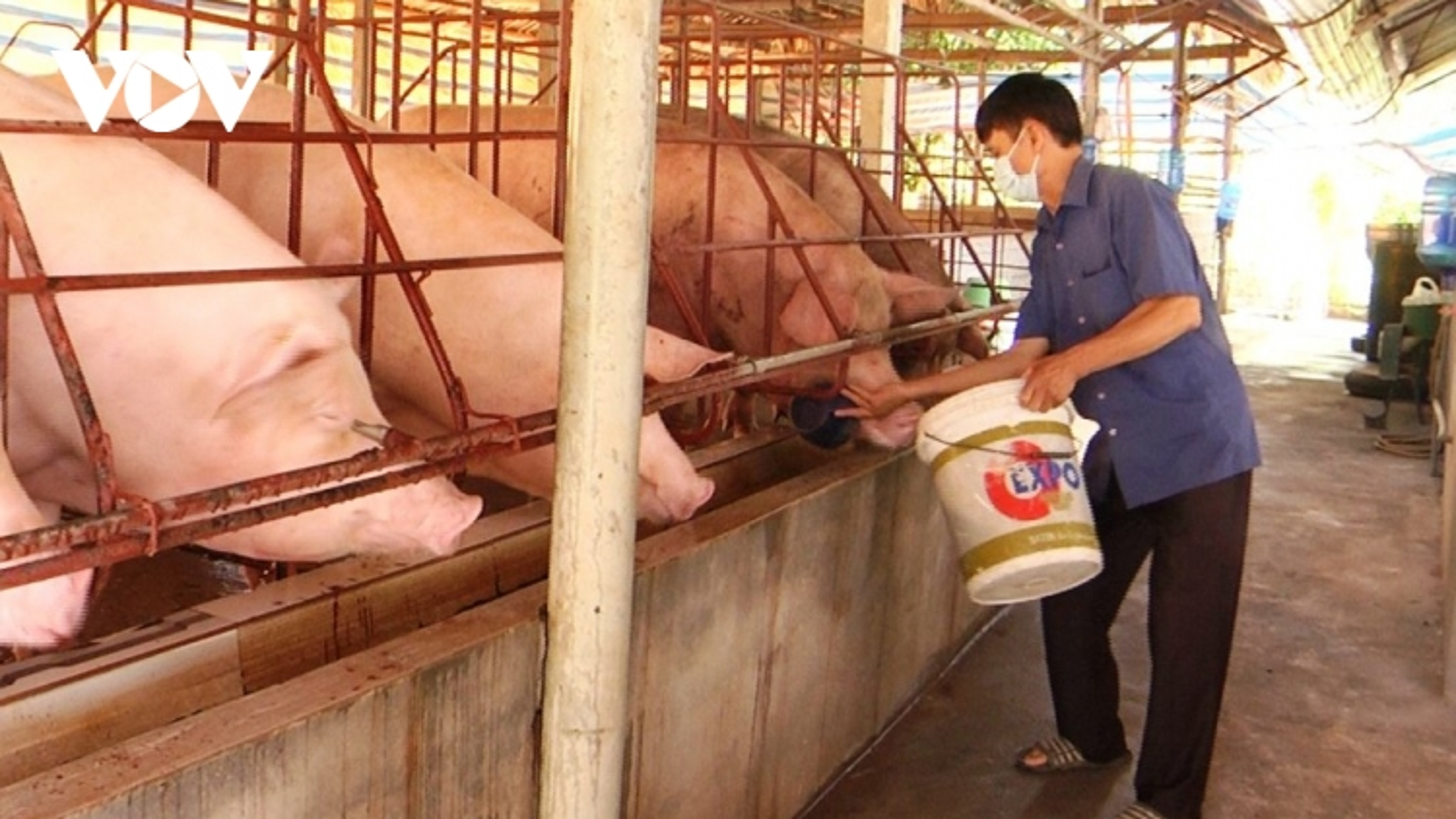 Giá lợn hơi xuống thấp, người chăn nuôi đang thua lỗ nặng
