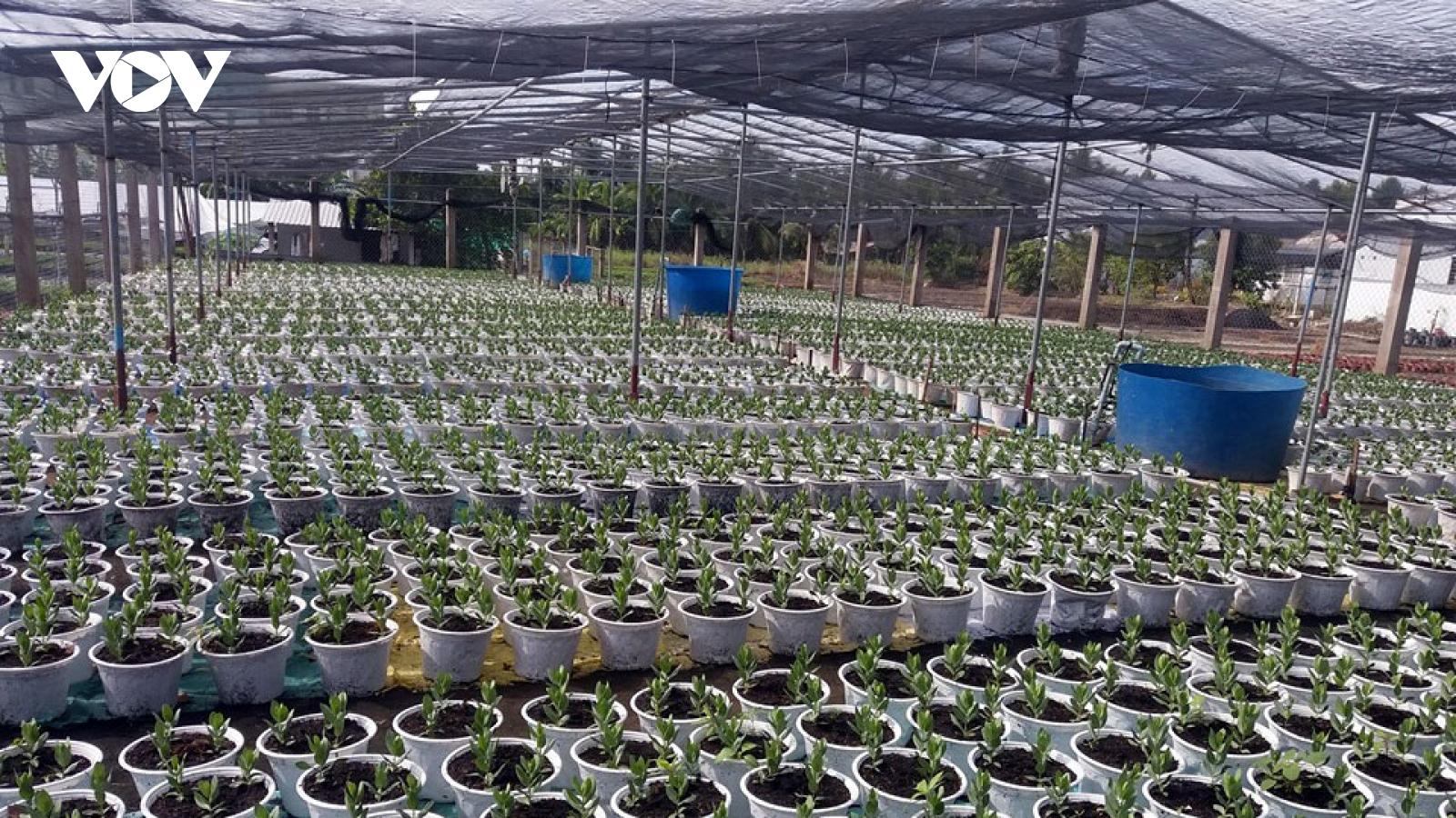 Bến Tre khuyến cáo nông dân giảm diện tích trồng hoa Tết