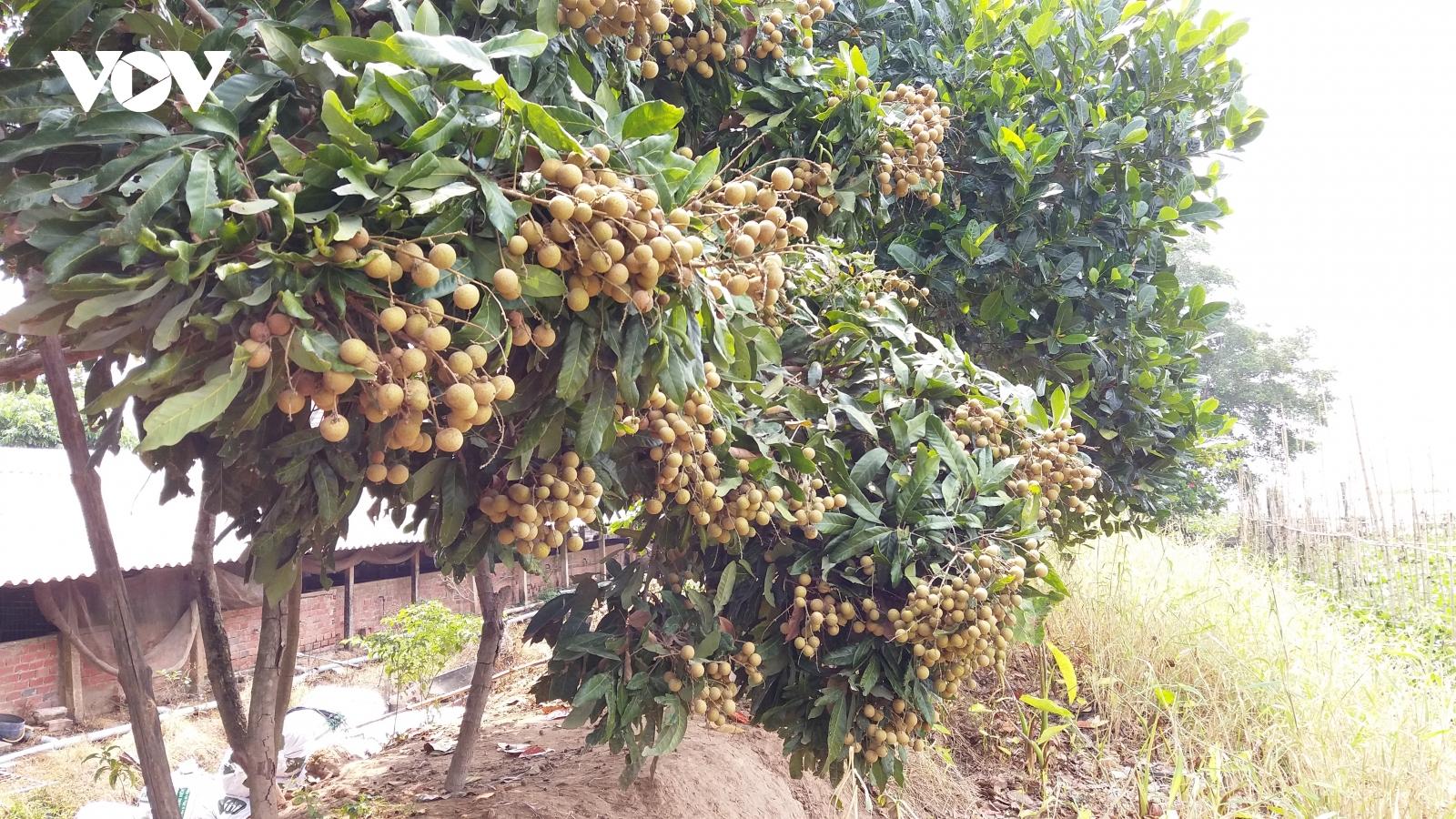 Nhiều loại trái cây đặc sản khó tiêu thụ, rớt giá