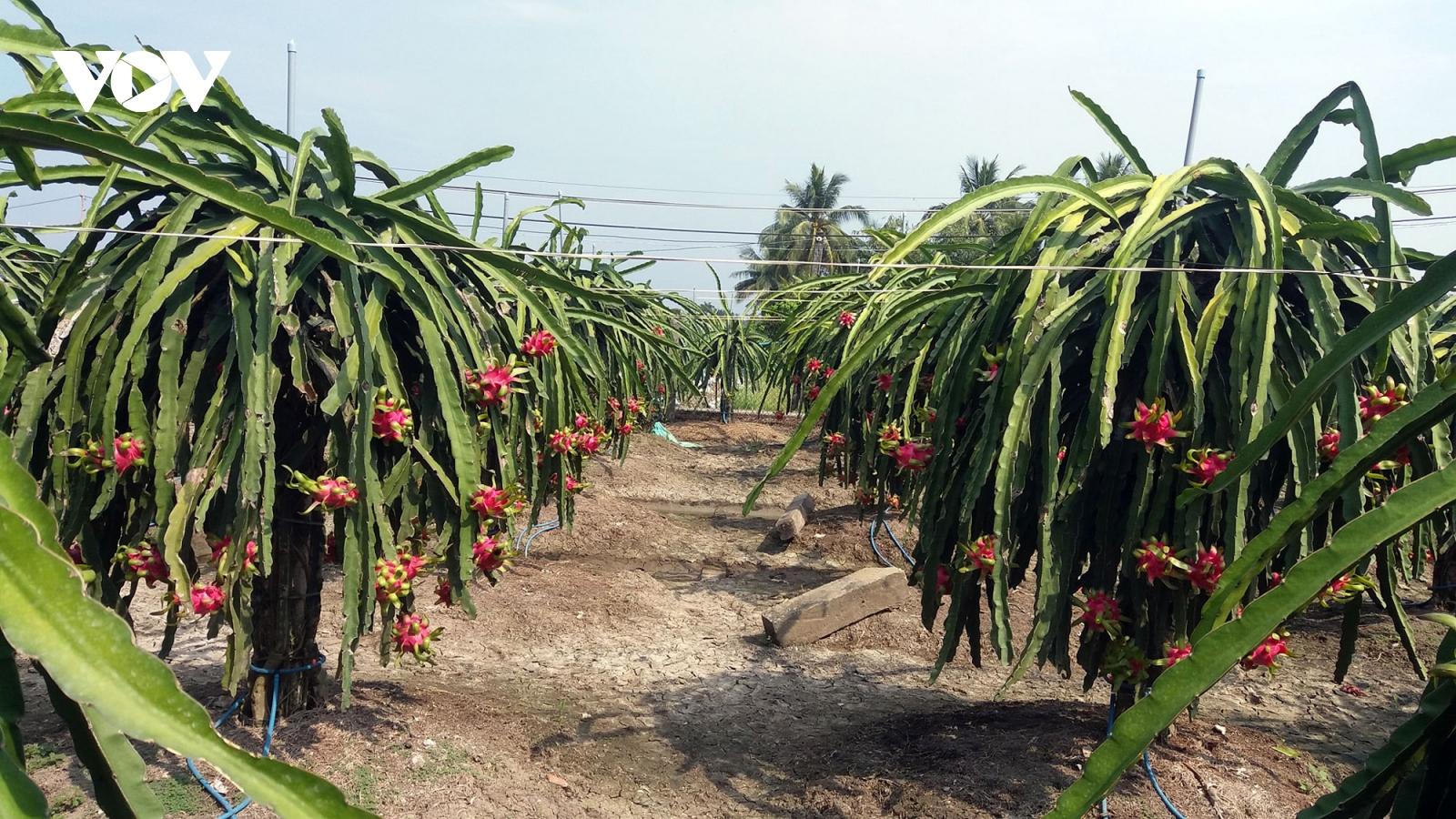 Thanh long Việt Nam còn nhiều dư địa xuất khẩu vào Ấn Độ và Pakistan