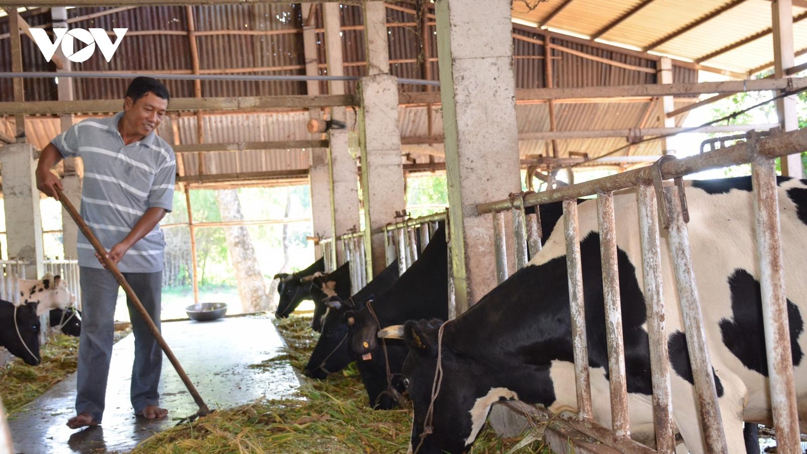 Ổn định đời sống nhờ nuôi bò sữa