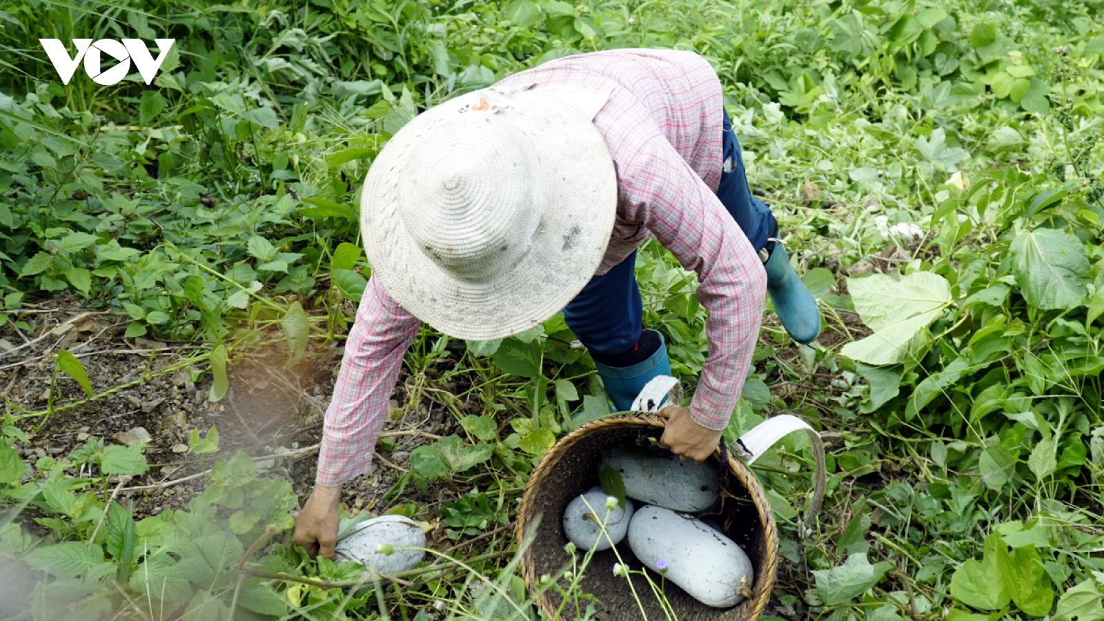 Người dân Tìa Dình xóa nghèo từ chuyển đổi trồng cây bí xanh