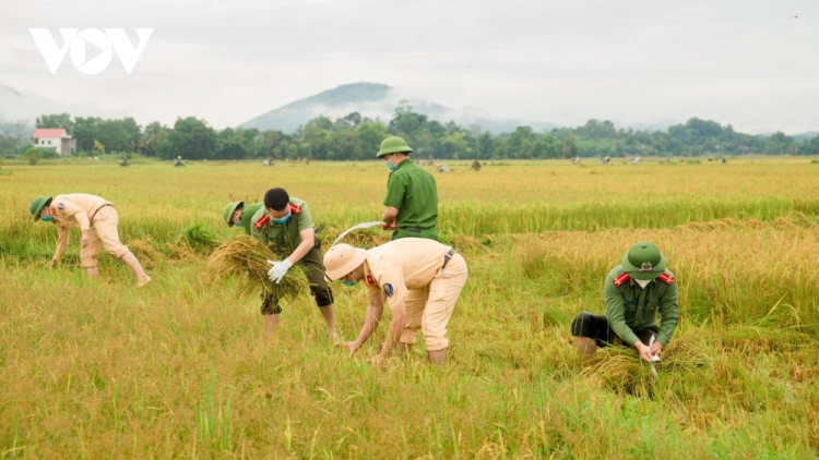 Hình ảnh công an xuống đồng giúp dân gặt lúa chạy bão