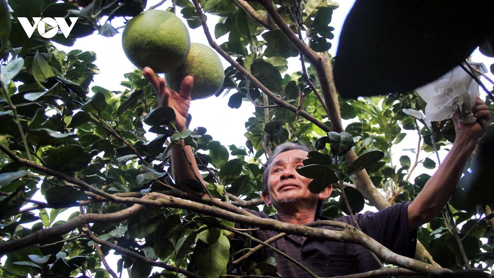 Bưởi da xanh - cây xóa đói giảm nghèo của vùng đất Hoài Ân