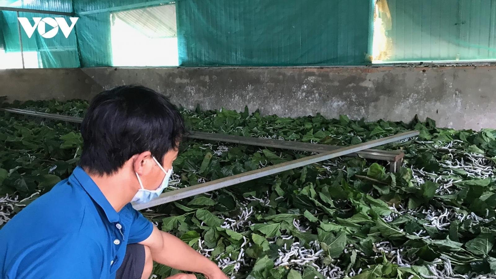 Chuyển đổi từ cà phê, hồ tiêusang trồng dâu cho thu nhập cao bất ngờ
