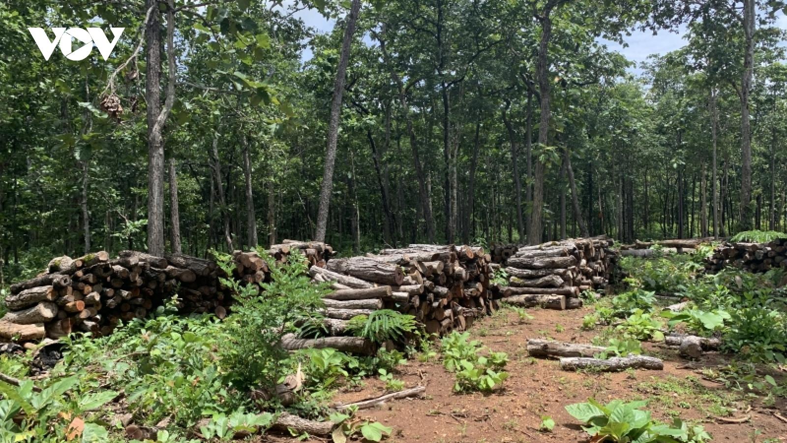 """Có một""""công trường"""" khai thác gỗ trái phép tại Trung tâm bảo tồn voi Đắk Lắk"""