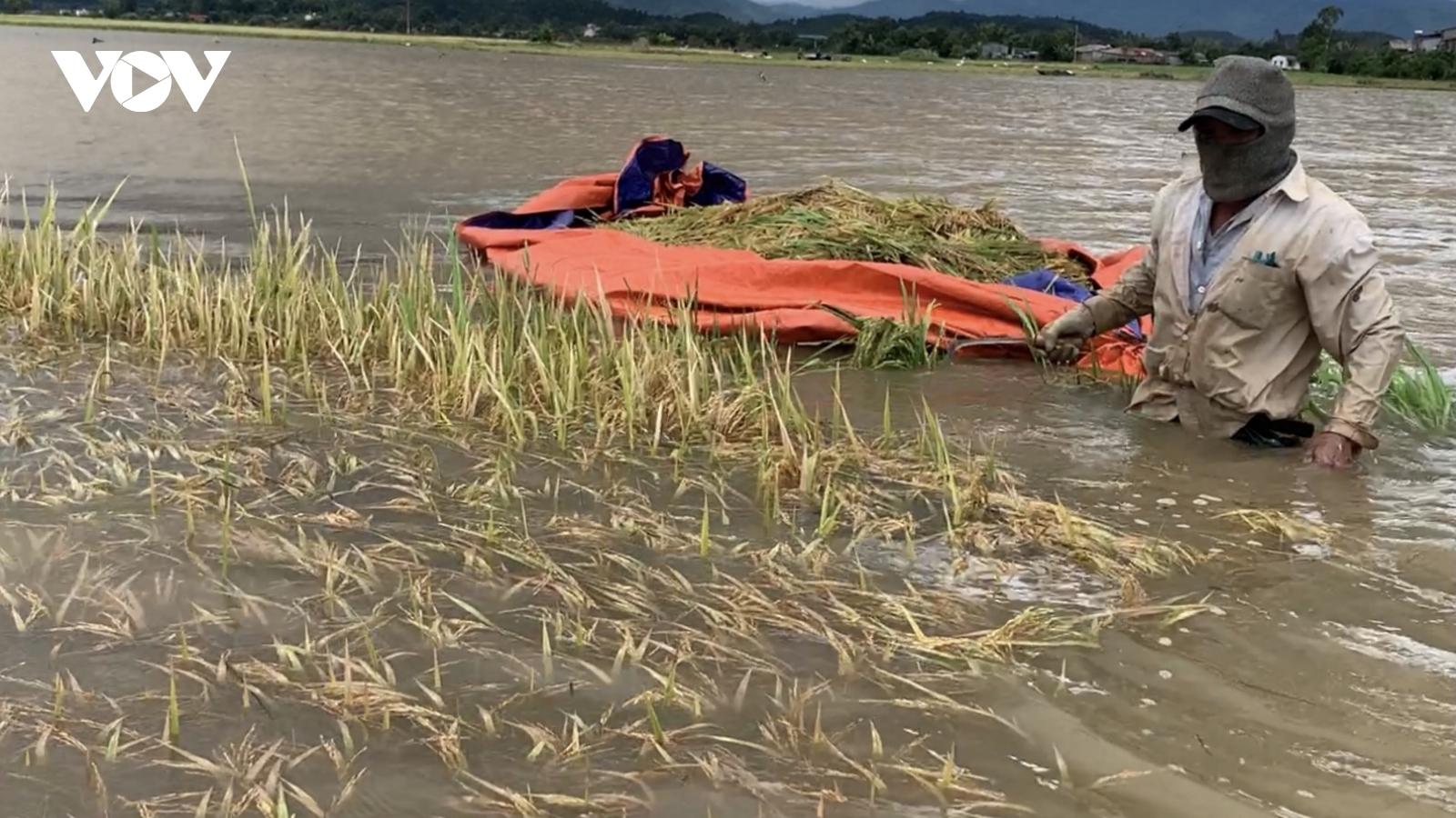 Người dân Đắk Lắk dầm mình trong nước gặt lúa chạy lũ