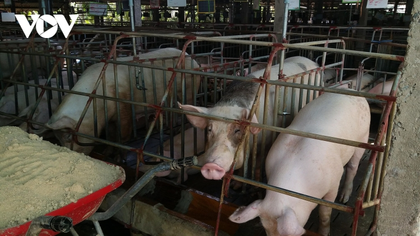 Giá lợn hơi tiếp tục tăng nhưng người chăn nuôi vẫn ngại tái đàn