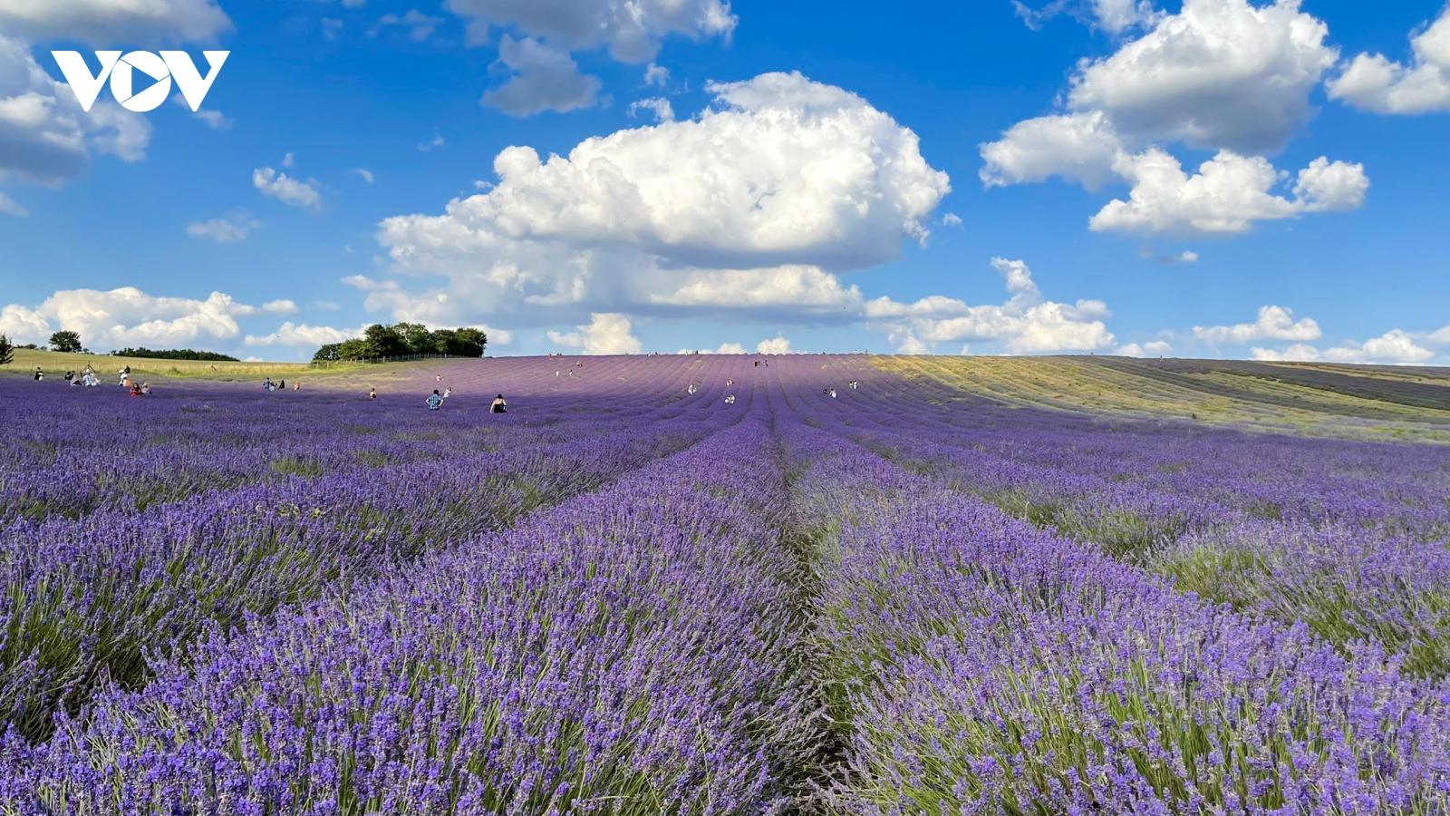 Chẳng cần đến Pháp cũng được ngắm hoa lavender tuyệt đẹp