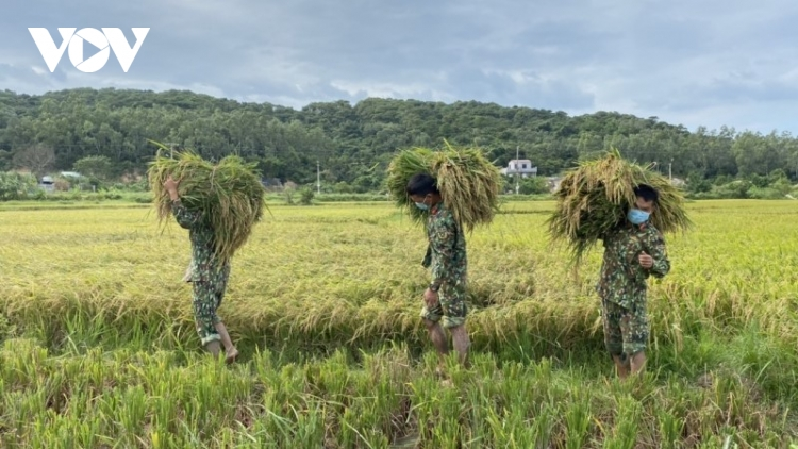 Lực lượng vũ trang trên đảo Cô Tô giúp dân gặt lúa chạy bão số 7