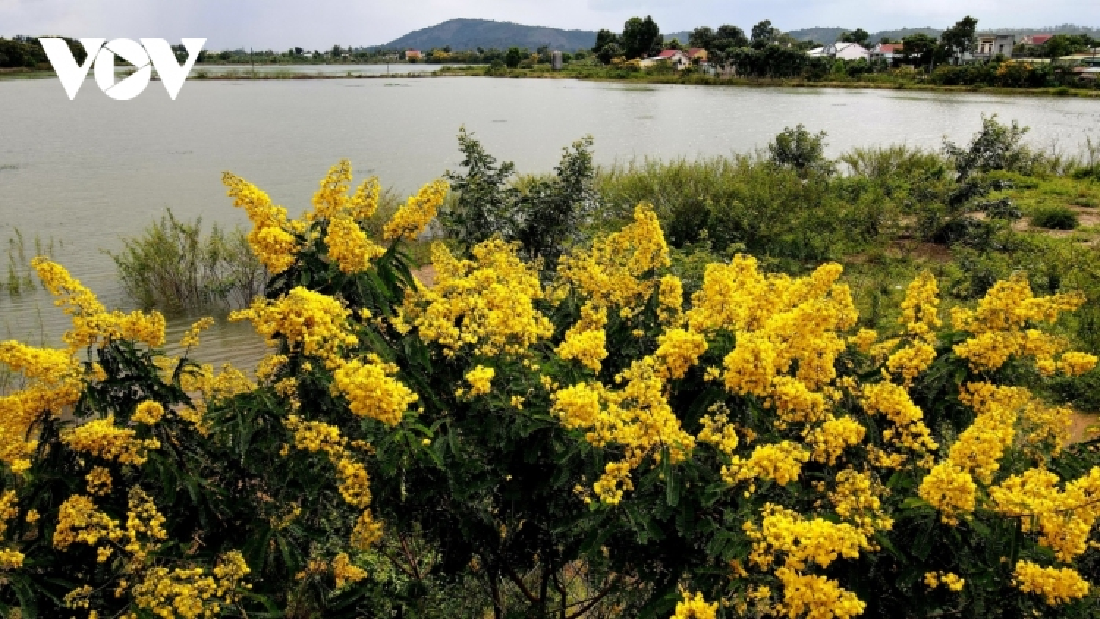 Sắc hoa vàng tuyệt đẹp trên cao nguyên
