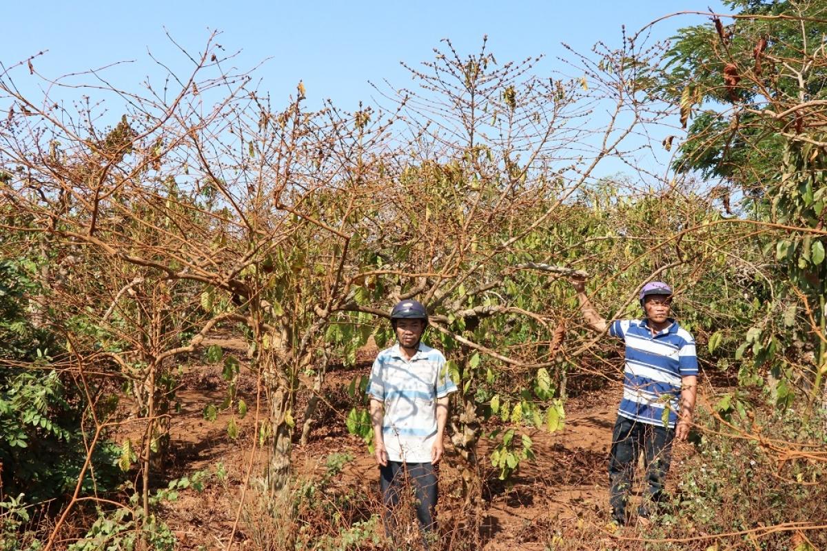 23,4 ha cà phê người dân canh tác hàng chục năm bị UBND huyện Chư Sê định giá 7,3 triệu đồng, thuộc về đơn vị khác.