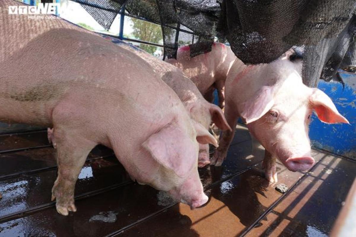 Nhiều dân buôn lỗ cả trăm triệu đồng vì giá lợn tăng cao. (Ảnh: Ngọc Khánh)