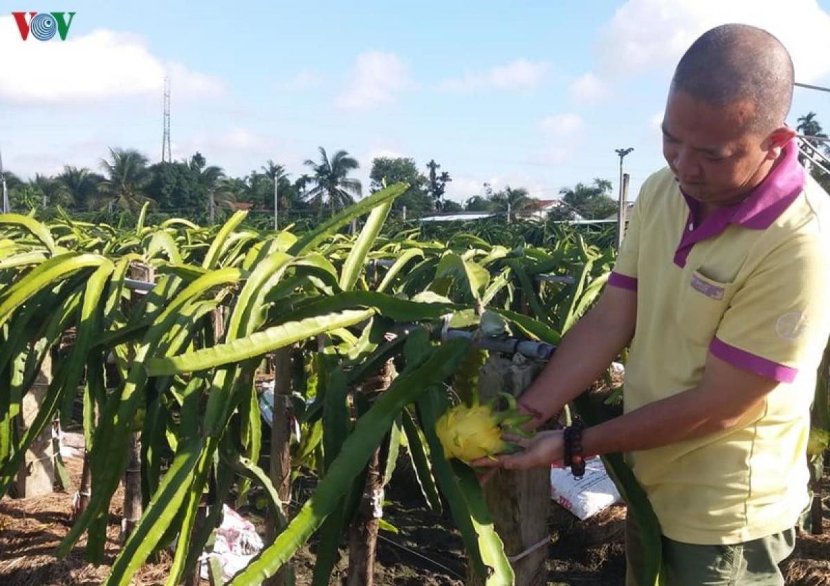 Anh Lê Huy Bình đang chăm sóc vườn thanh long vỏ vàng, ruột trắng cho kinh tế cao.