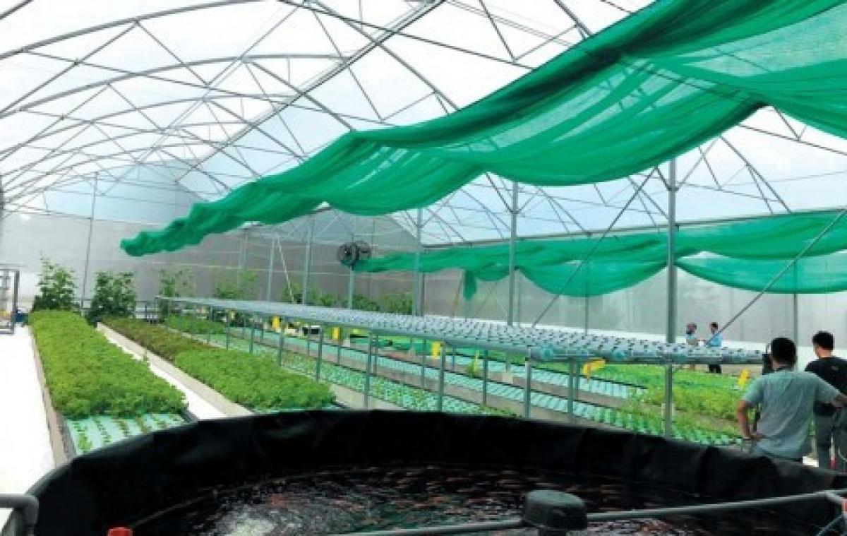Nông nghiệp công nghệ cao Aquaponics: Cá nuôi rau, rau nuôi cá ở Tây Ninh Farm.