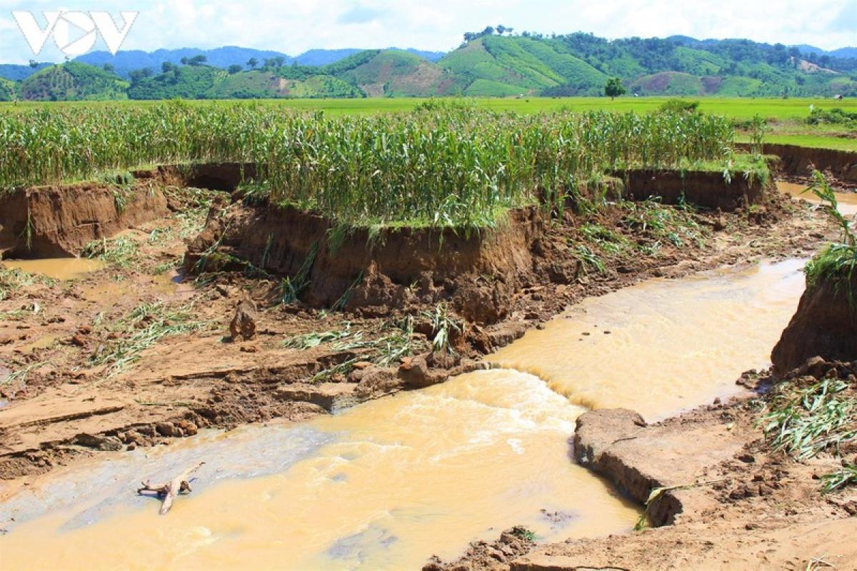 Nhiều diện tích hoa màu bị thiệt hại do ảnh hưởng của mưa lũ.