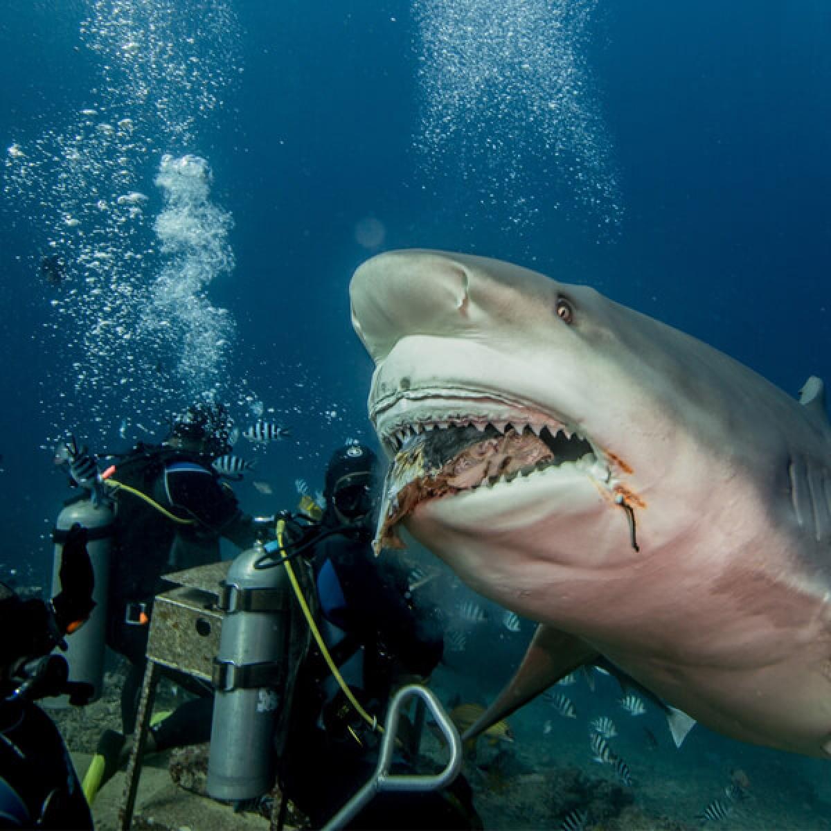 Lặn biển và cho cá mập ăn, Fiji