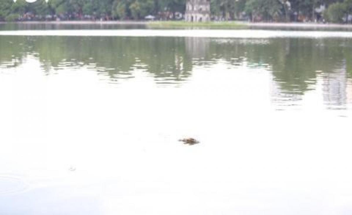 Sau khi hợp long hệ thống kè bờ hồ Gươm vào ngày 20/8, trên mặt hồ bỗng xuất hiện nhiều cá chết nổi lềnh phềnh, bốc mùi hôi thối. Ảnh: VOV