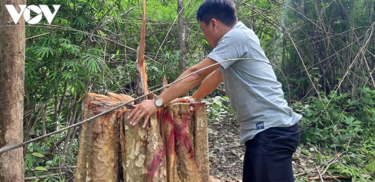 Một cây bằng lăng bị khai thác trái phép ở lâm phần Ban Quản lý rừng phòng hộ Ia Mơr.