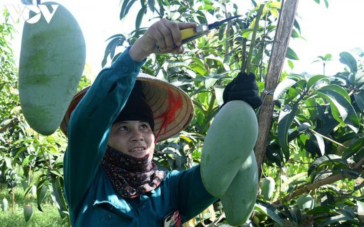 Xoài Mai Châu, Sơn La là một trong những mặt hàng nông sản được ưa chuộng trong và ngoài nước.