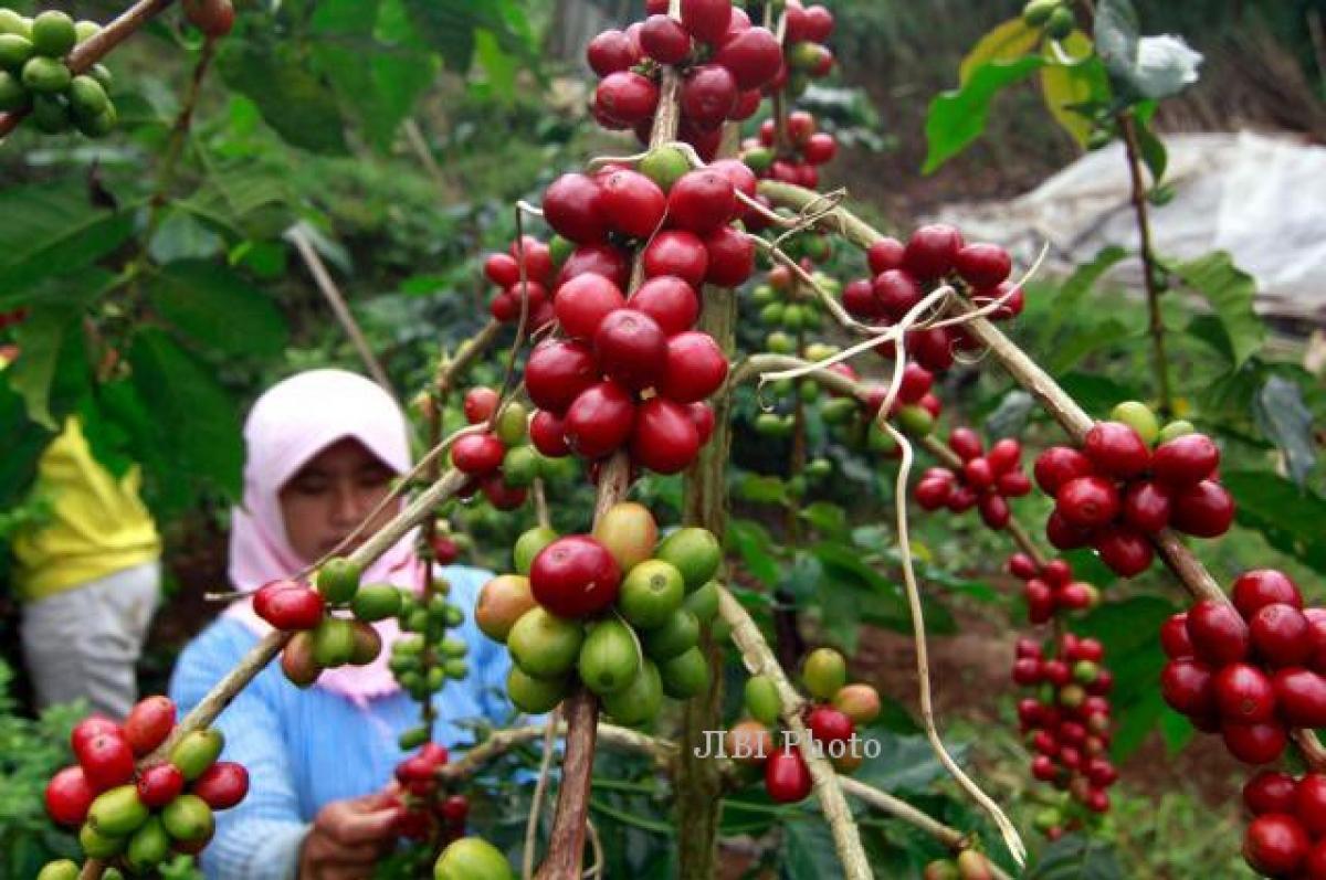 Nông dân trồng cà phê tại Indonesia. (Ảnh: Solopos)